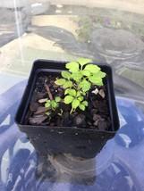 Gynostemma Pentaphyllum live plant - £4.37 GBP