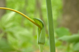 5 Green Dragon bulbs (Arisaema dracontium) image 3