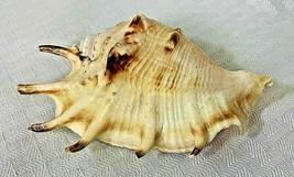 Lambis Spider Conch Sea Shell Beach Nautical Decoration - $12.99