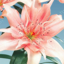 Lily Bulbs, Round Lily Bulbs, Rare Pink Lily Flower, Garden Balcony Plant - $9.99+