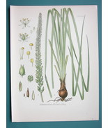 MEXICAN CEVADILLA Schoenocaulon - Beautiful COLOR Botanical Print - $28.69