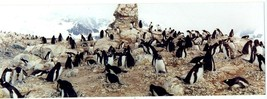 2 Color Panoramic Photos of Penguins from Antarctica Cruise  - $24.72