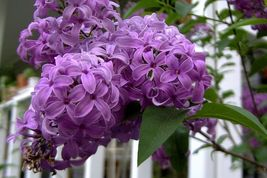 25 OLD FASHION FRENCH LILAC Flower Shrub Tree Seeds - SHIP FROM US - $7.99