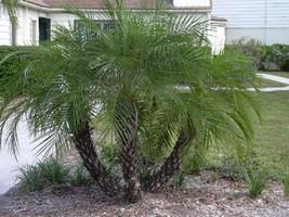 PHOENIX ROEBELENII, Pygmy Date Palm exotic rare palms semi plant seed 25 seeds - $18.00