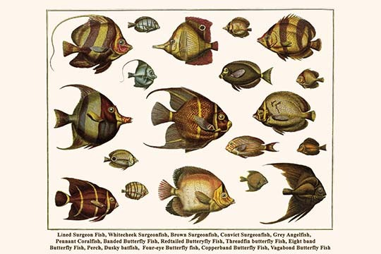 Primary image for Lined Surgeon Fish, Whitecheek Surgeonfish, Brown Surgeonfish, Convict Surgeonfi