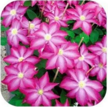 100pcs very gracefuly Clematis Garden Flowers color bugrundy  - $14.97