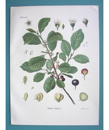 BLACK ALDER Medicinal Plant Rhamnus Frangula - Beautiful COLOR Botanical... - $28.69