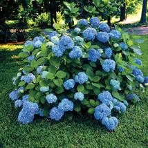 Nikko Blue Hydrangea 2 plants image 2