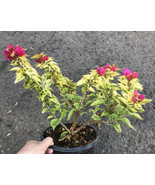 Live Rooted- Variegated Bougainvillea Torch Glow Pre Bonsai In 1 Gallon Pot - $23.75