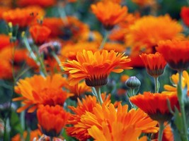 75 Calendula Fiesta Gitana Seeds Edible Heirloom Pot Marigold - $2.99