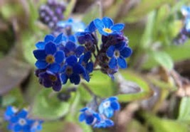 FORGET ME NOT 500+ SEEDS ORGANIC NEWLY HARVESTED, BEAUTIFUL ABUNDANT BLOOMS - $8.99