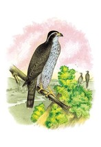 The Ash-Colored or Black-Cap Hawk by Theodore Jasper - Art Print - $19.99+