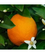 DWARF BLOOD MORO ORANGE Tree Citrus 1 tree Grow Your Own Oranges - $47.27