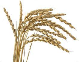 Organic Spelt (Asturia) Heirloom Non-GMO Grain Cereal Garden Crop 600 Seeds image 2