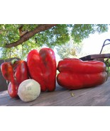 Saint Antonine bell pepper - a huge pepper, the largest you can grow - $5.00