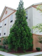 CRYPTOMERIA YOSHINO Japanese Cedar image 1