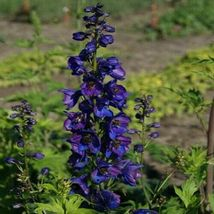 SHIP FROM US 50 Delphinium Black Knight Flower Seeds (Cultorum), UTS04 - $11.98