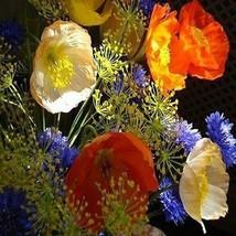 Poppy Iceland Flower Seeds (Papaver Nudicaule) 200+Seeds - $5.43+