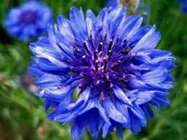 DWARF BLUE BACHELOR BUTTON 500 SEEDS ORGANIC, BEAUTIFUL FLOWER, BORDER F... - $8.99