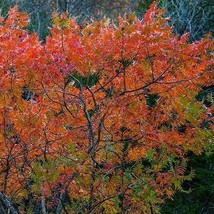 Flameleaf Sumac Tree Seeds (Schmaltzia copallinum) 40+Seeds - $6.22+
