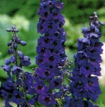 Cheap Fresh Seeds Delphinium Seeds Black Knight Get 50 Flower Seeds Easy Grow #M - $26.68