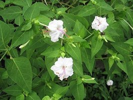 7 Seeds of Four OClocks White / Mirabilis jalapa - $21.78
