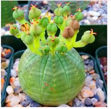 10pcs Euphorbia Obesa Seeds Rare Succulent, Rare Plant For Home & Garden - ₹418.86 INR