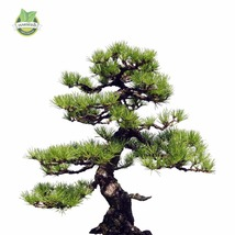35pcs/Bag Japanese Pine Tree Seeds bonsai flower - $4.50