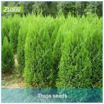 50 pcs Chinese Thuja Cypress Tree Bonsai Seeds Fresh Nature High Germina... - $2.16
