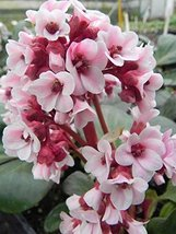 4 Bare Root of Bergenia Bach - $114.84