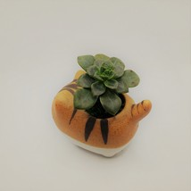 """Echeveria Succulents in Laughing Cat Planters, Live Plants in 2.5"""" Kitten Pots image 9"""
