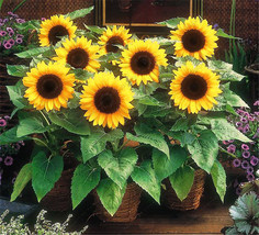 Dwarf Sunflower Seeds, ornamental flower seeds, Bonsai potted plants 30p... - $4.53