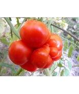 Reisetomate seeds - one-of-a-kind  red cluster tomato - $3.60