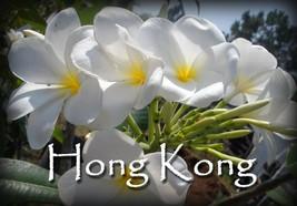 White Hybrid fragrant Evergreen *Hong Kong*  Rare Exotic Plumeria cutting - $15.00