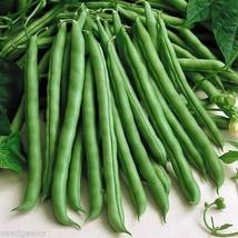 100 Blue Lake Pole Bean Heirloom Seeds Stringless Heirloom - $1.79