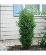 "4"" pot - Fine Line ® Buckthorn - Rhamnus - Hardy - Gardening - Free Shipp tkhtg - $56.00"