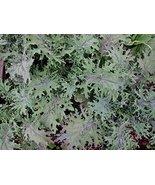 Bulk Organic Red Russian Kale Seeds (50 Lbs) - $2,862.04