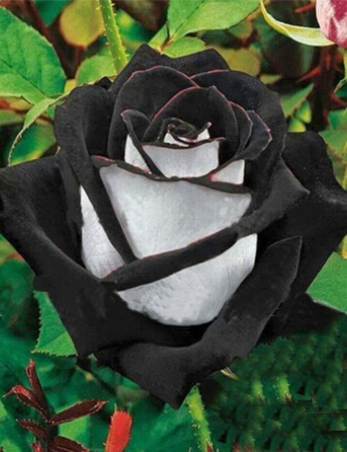 100 Rare White Black Edge Rose Seeds Plants Potted Rose Flower Seeds
