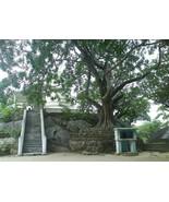Organic Bo Tree - Bohdi Tree Seed  - Ayurveda Medicine. - $2.96