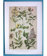 BOTANICAL PRINT 1896 Color Litho - Lilac Willow Weed Starflower Pimpernel - $13.77