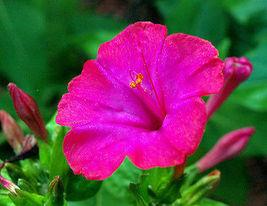 75 Pcs Pink Four O'clock Seeds, Heirloom Flower Seeds, Annual Flower Seeds - $13.99