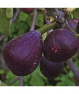 2 Cuttings Violette De Bordeaux Fig tree Cuttings, Fig cuttings, Zone 5 ... - $8.79