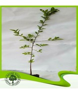 Prunus spinosa (Blackthorn) - Plant - $18.71