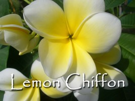 Lemon Chiffon Hawaiian Lei Tree Plumeria Frangipani cuttings Rare Exotic - $8.95