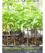 NEEM TREES, Azadirachta indica 3 pack Great size - $39.29