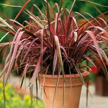 SHIP FROM US 80 Phormium New Hybrids Ornamental Grass Seeds, UTS04 - $59.98