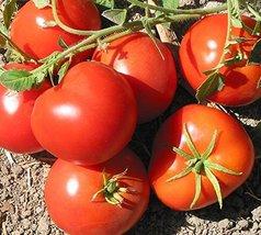 25 Seeds San Francisco Fog Tomato - $21.78