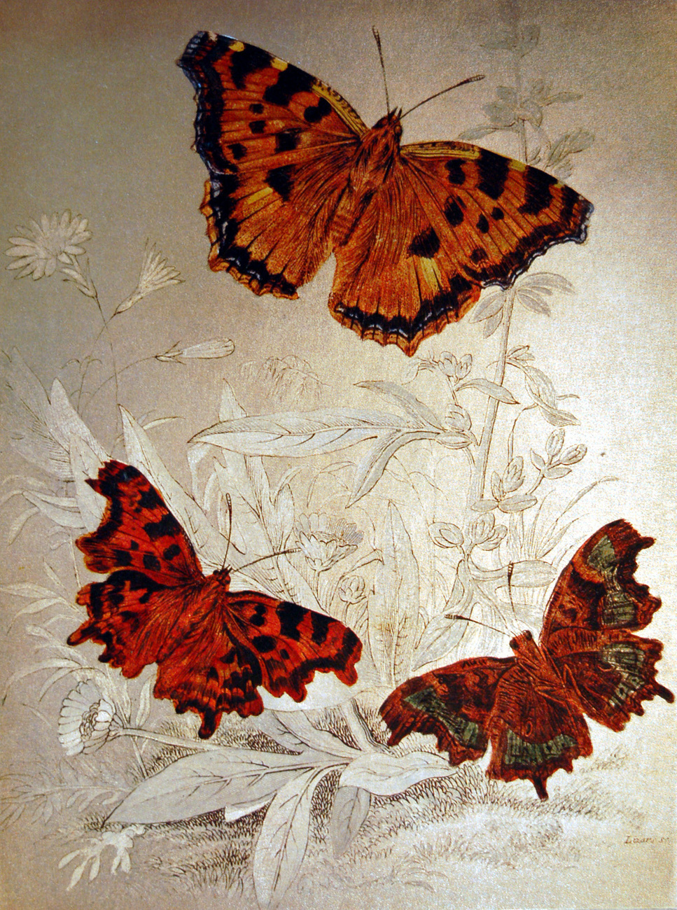 152558 comma butterfly and large tortoiseshell