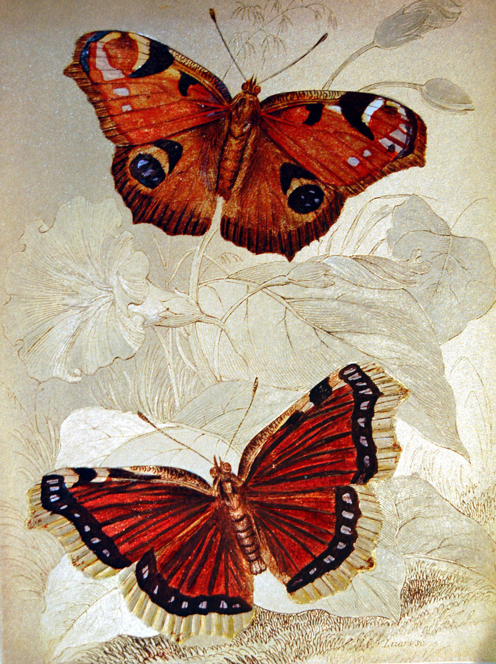 152557 peacock butterfly and camberwell beauty