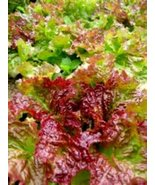 100 Seeds of Beautiful Prizehead Leaf Lettuce! Tasty In Salad - $12.87